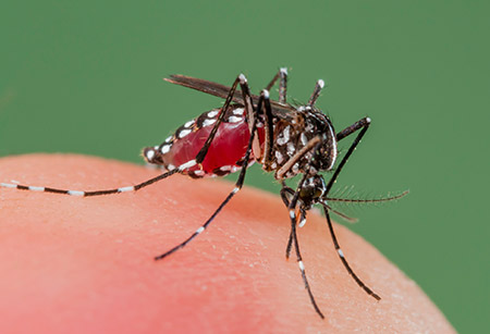 dengue mosquito identification