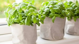 Basil plants indoors being used to repel mosquitoes.