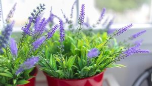 Lavender plants being used indoors to repel mosquitoes.