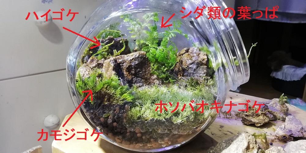 ホソバオキナゴケの苔テラリウム完成