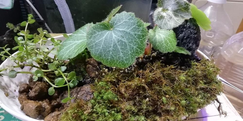タマゴケとロタラを植える