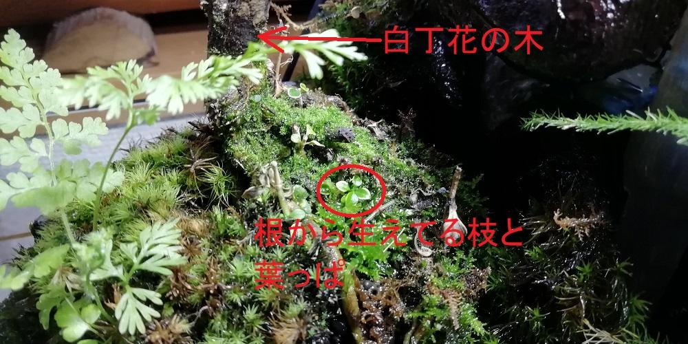 白丁花の根から生えた枝と葉っぱ