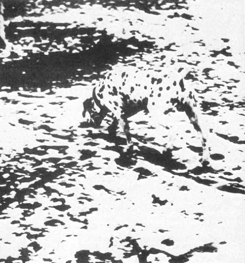 Dalmation photo using Gestalt Theory principles