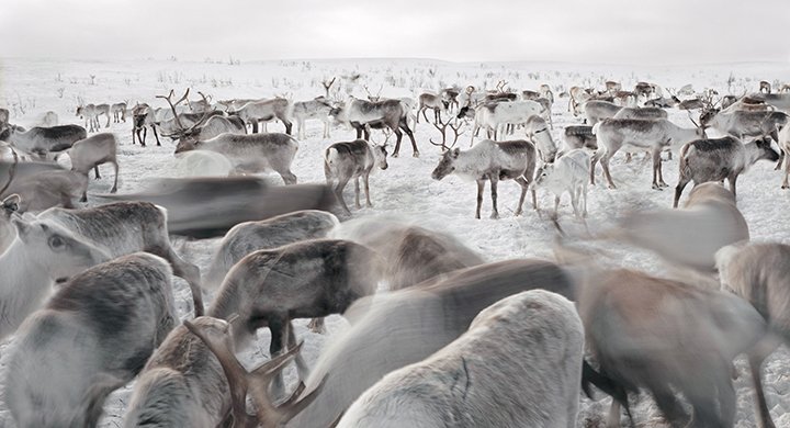 Sami, The People That Walk With Reindeer