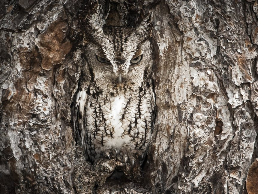 NATURAL WORLD CATEGORY WINNER: Photograph by Graham McGeorge (Jacksonville, Florida). McGeorge spent a quiet 6 hours trying to get the perfect image of this eastern screech owl out of its nest.