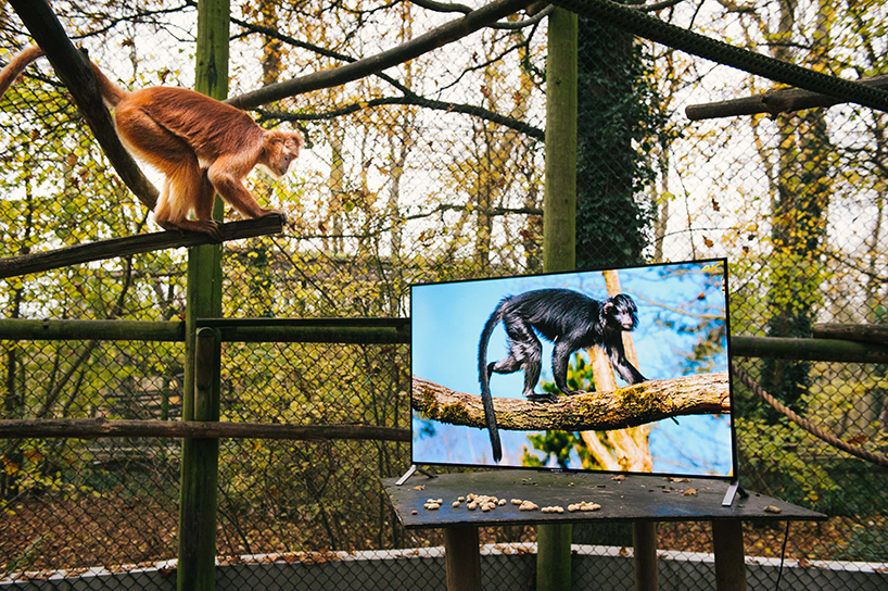 lemurs and langurs watching 4k tv // moss and fog