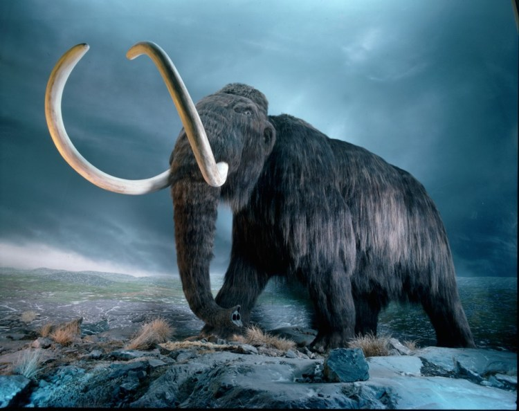 Replica of a woolly mammoth on display at the Royal British Columbia Museum in Victoria, British Columbia. Woolly mammoths roamed North America, Europe, and Asia during the Pleistocene epoch.