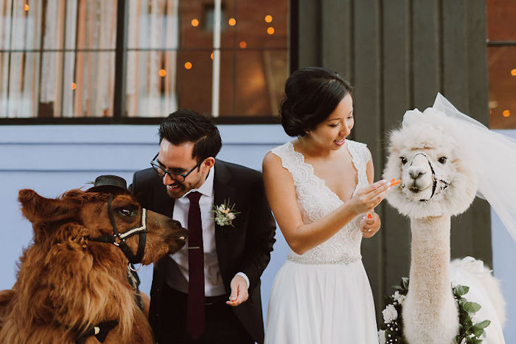 wedding-llamas-mtn-peaks-therapy-llamas-and-alpacas-6