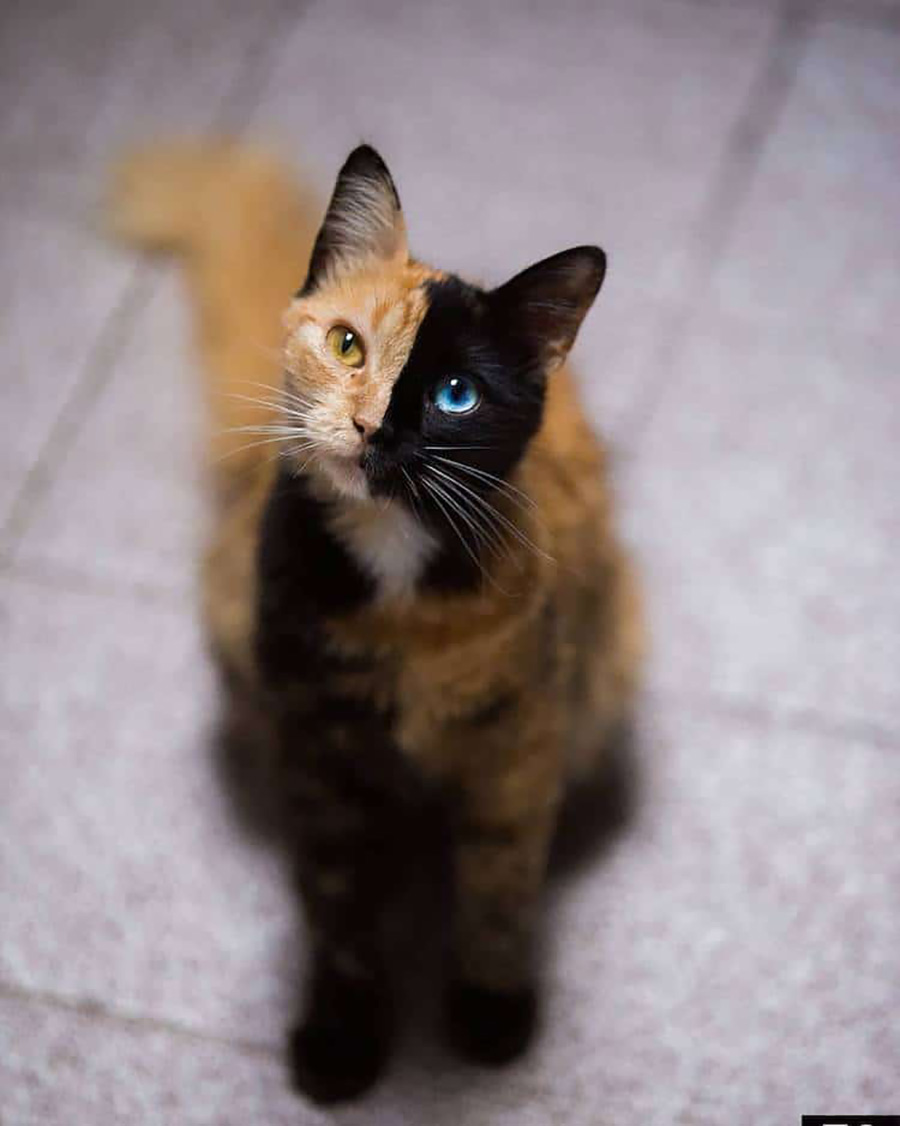 chimera-cat-quimera-4