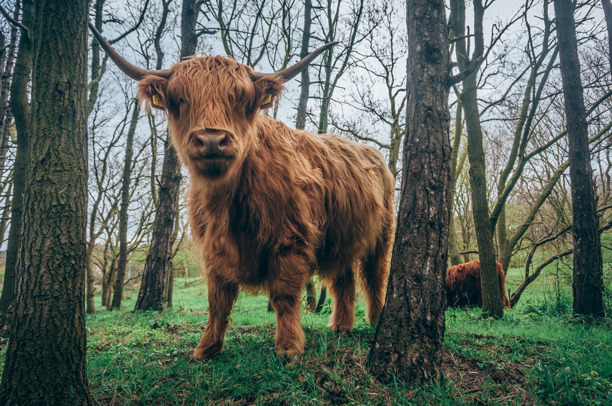 The Mighty Scottish Highland Cattle | Moss and Fog