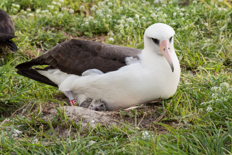 Wisdom the Albatross, The World's Oldest Bird