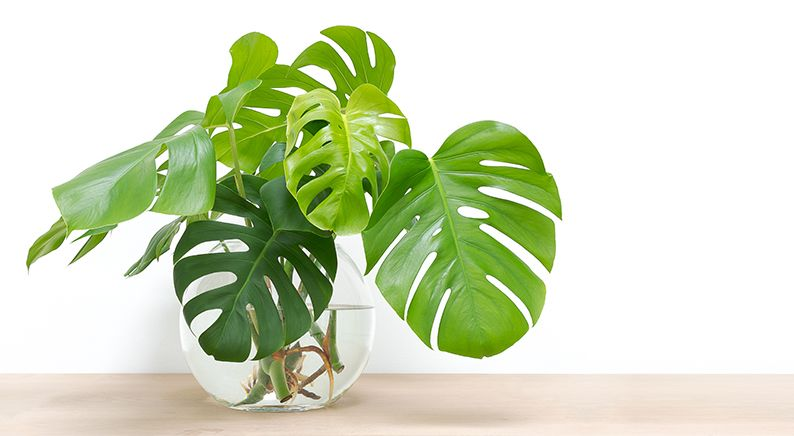 Philodendron-Monstera