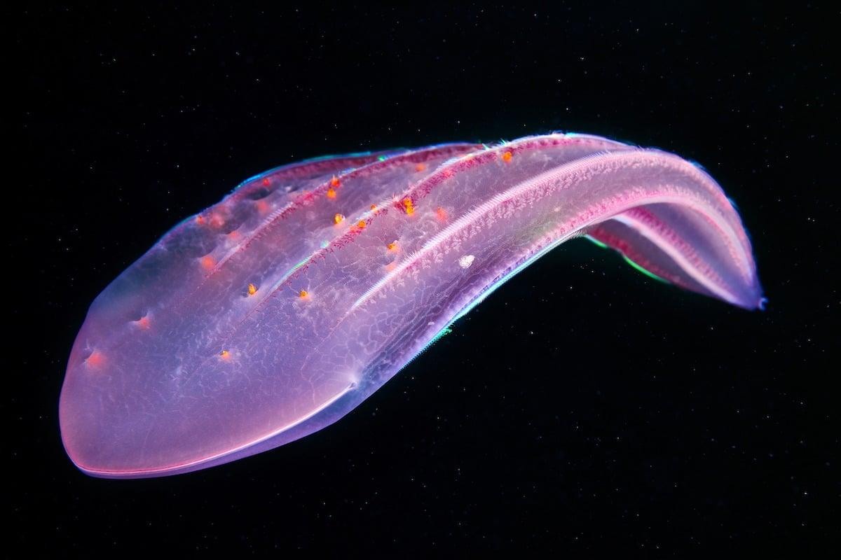 Alexander-Semenov-underwater-photography-Ctenophora-Beroe-forskalii-with-hyperiids-02