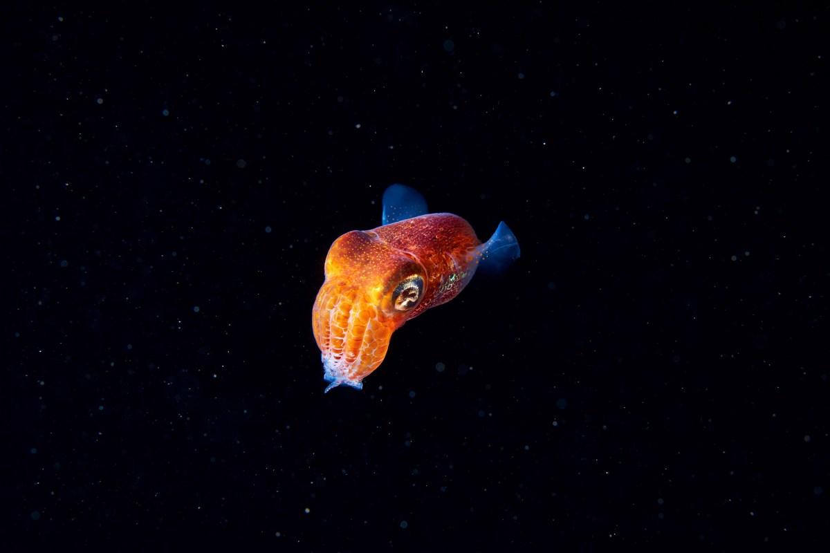 Cephalopoda-Sepiola-sp