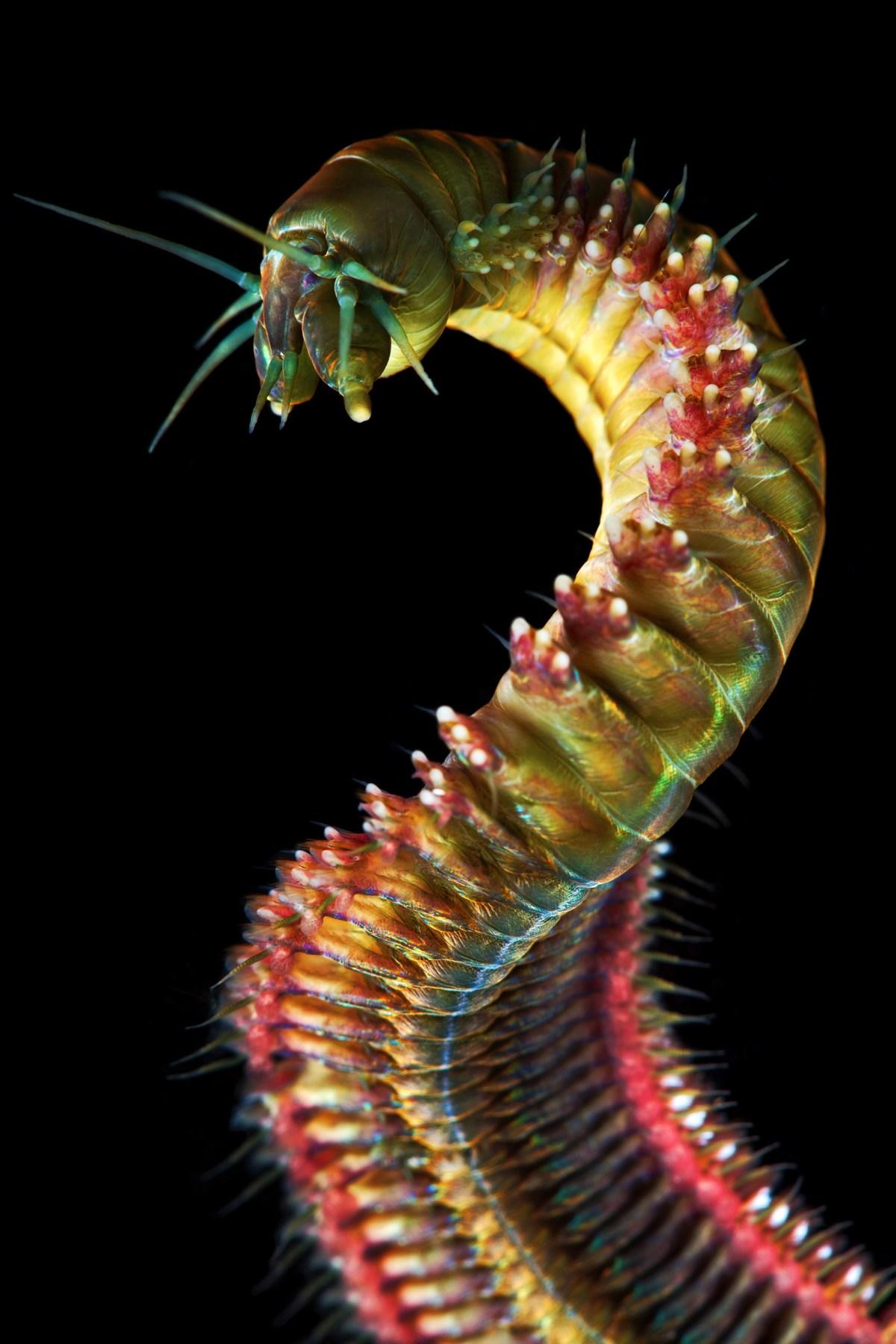Polychaeta-King-Ragworm-Nereis-pelagica-1