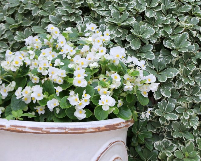 Begonias in white planter