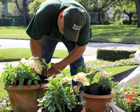 Crew member, Juan Serrato, is planting Miss Muffet Caladiums beside Pentas and Blue Daze which will look gorgeous together in full bloom!