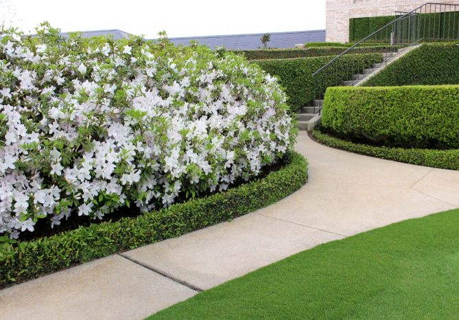 White azaleas in full bloom at the club entrance.