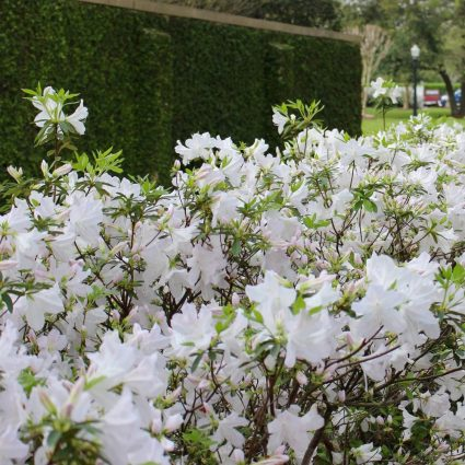 Azalea wall lines the parking lot of this private country club.