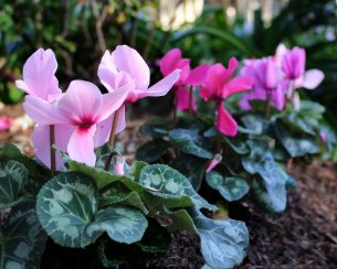 An ombre of pink Cyclamen.