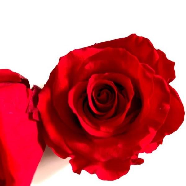 роза красная12