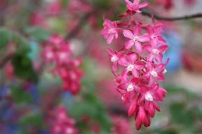 pink berry flower