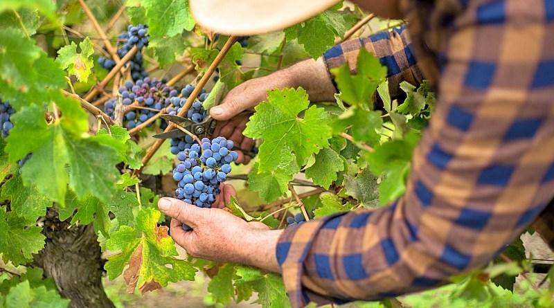 Como la cosecha más temprana de los últimos veinte años será recordada la vendimia 2020 que inició en febrero y finalizó a mediados de abril
