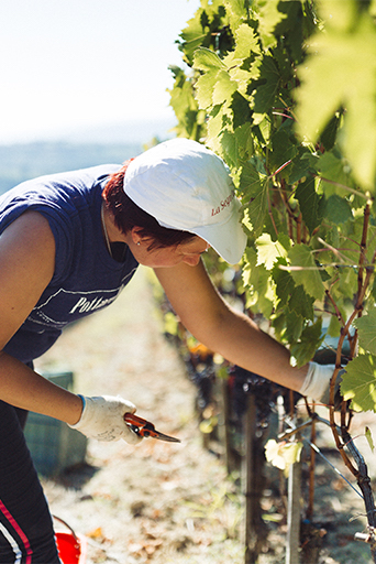 hand picked grapes for mother wine