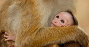 Disneynature's Monkey Kingdom - Motherhood and Beyond