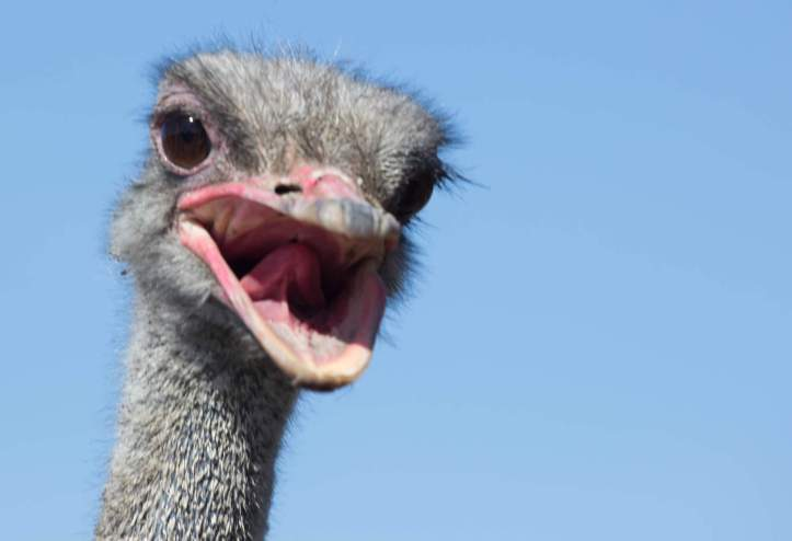 Ostrich head closeup. The long neck and beak.