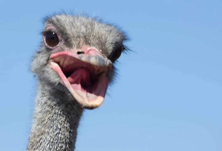 Ostrich head closeup. The long neck and beak.