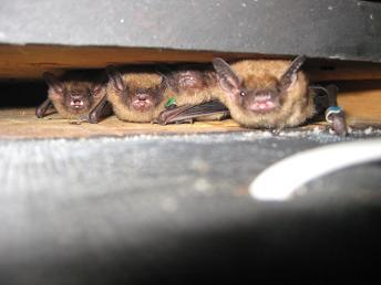 fledgling bats
