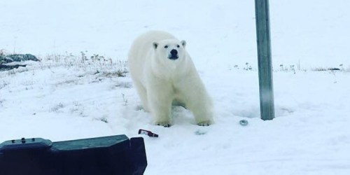 Newfoundland polar bear at Great Brehat, 12 March 2018.
