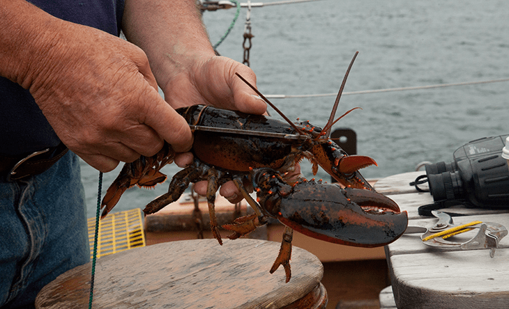 a photo of a lobsterman holding a lobster and measuring it