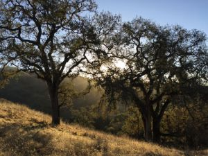 Warm sunshine streams through the canopies of two blue oaks in central California.