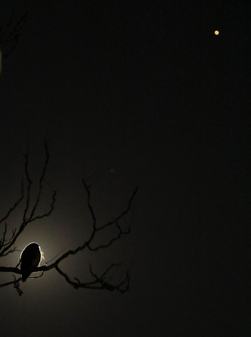 An owl in a bare tree, with moonlight behind it, and reddish dot in the upper right.