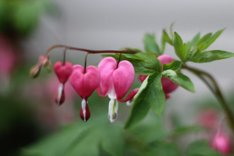 Pink heart-shaped blossoms hanging from an arc-shaped stem.