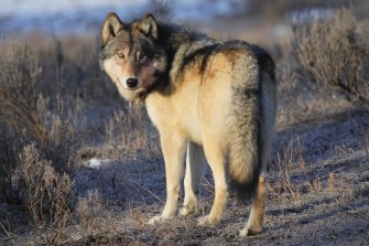 Scientists say apex predators, such as this grey wolf in America's Yellowstone national park, may help their ecosystems adapt to climate change, if they can stay ahead of temperature rises themselves.