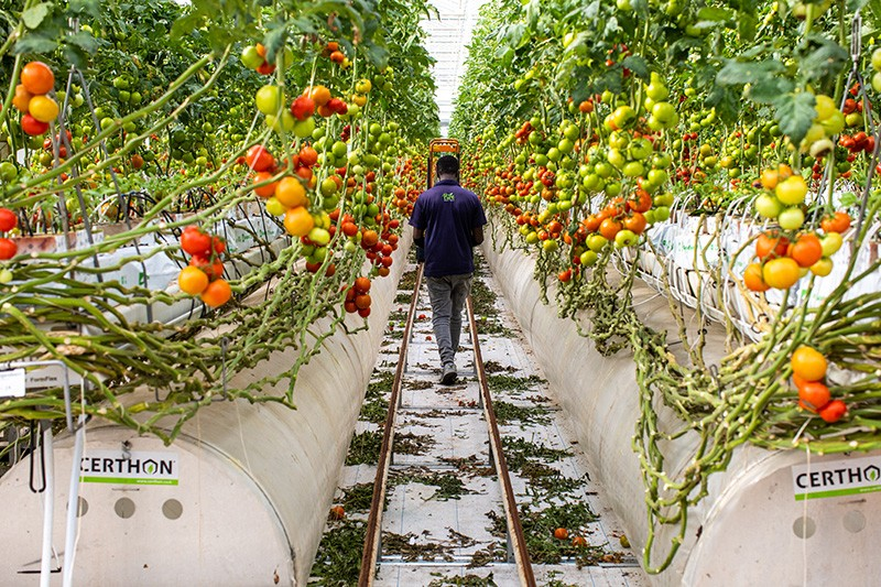 A worker walks past rows of tomato plants growing in a smart greenhouse in the United Arab Emirates