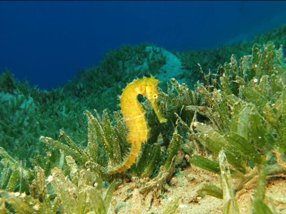 A yellow seahorse rests amid a vast underwater seagrass meadow.