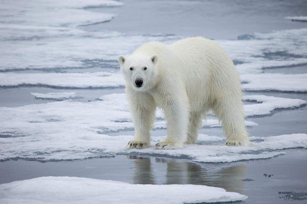 Polar bear standing on a melting sea ice in Norway