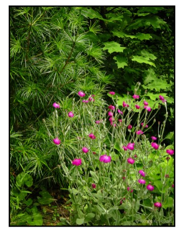 Lychnis with Umbrella Pine