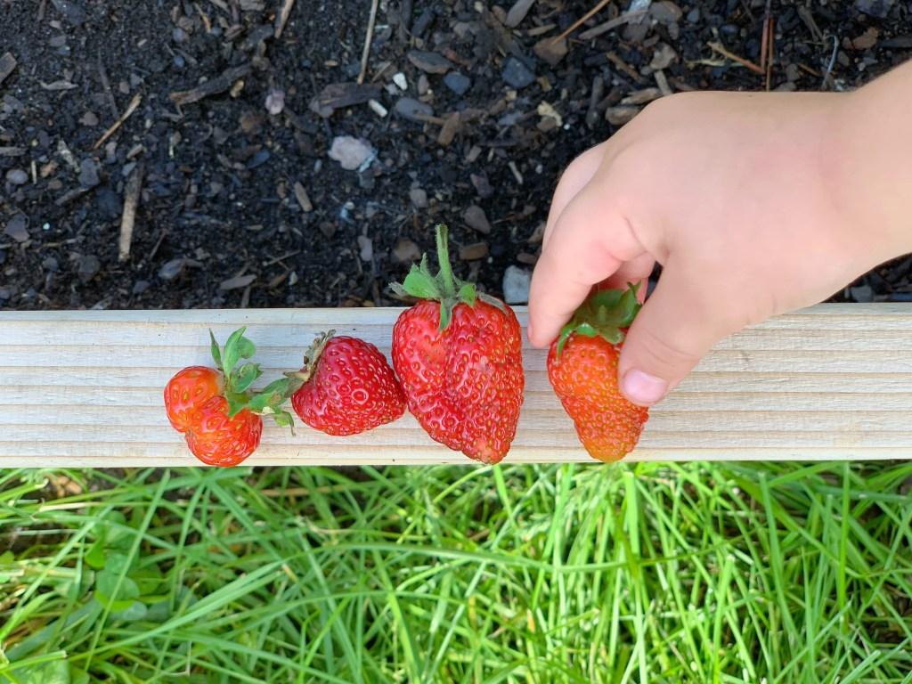 strawberries in the garden   mother of beees