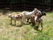 More baby goats!