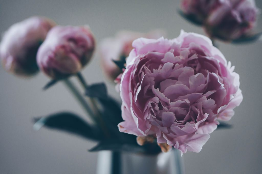 Close up of pink peonies in a vase, with focus on one opening stalk