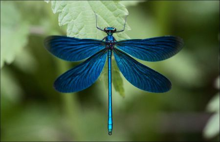 Blue dragonfly on a green leaf