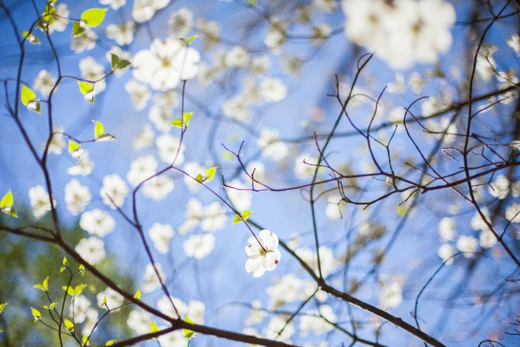 branches of a white dogwood tree against the sky