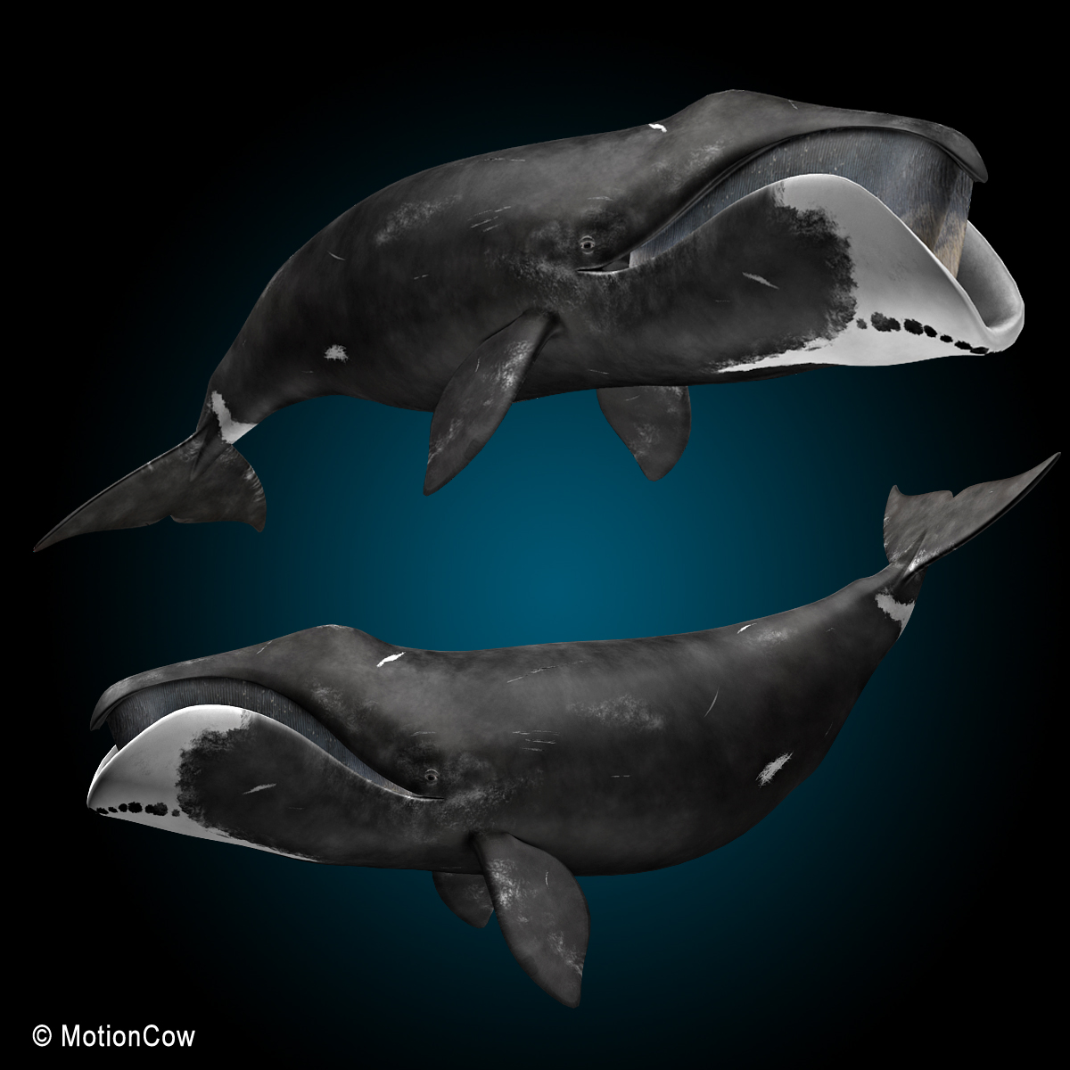 Bowhead Whale Motioncow