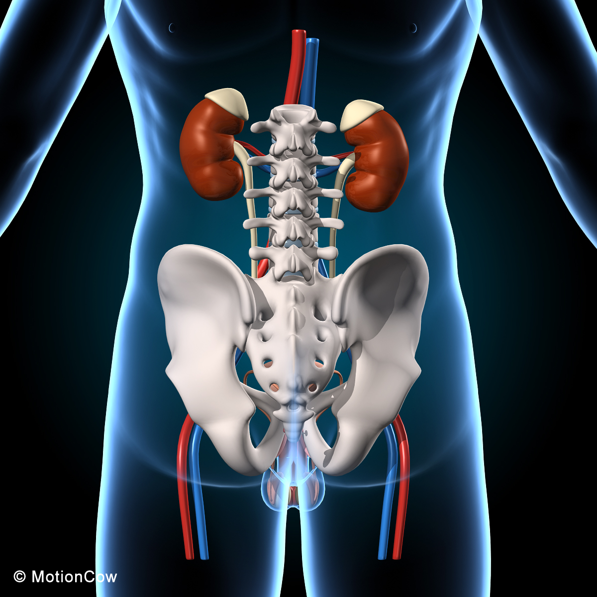 Male Reproductive Amp Urinary System Motioncow