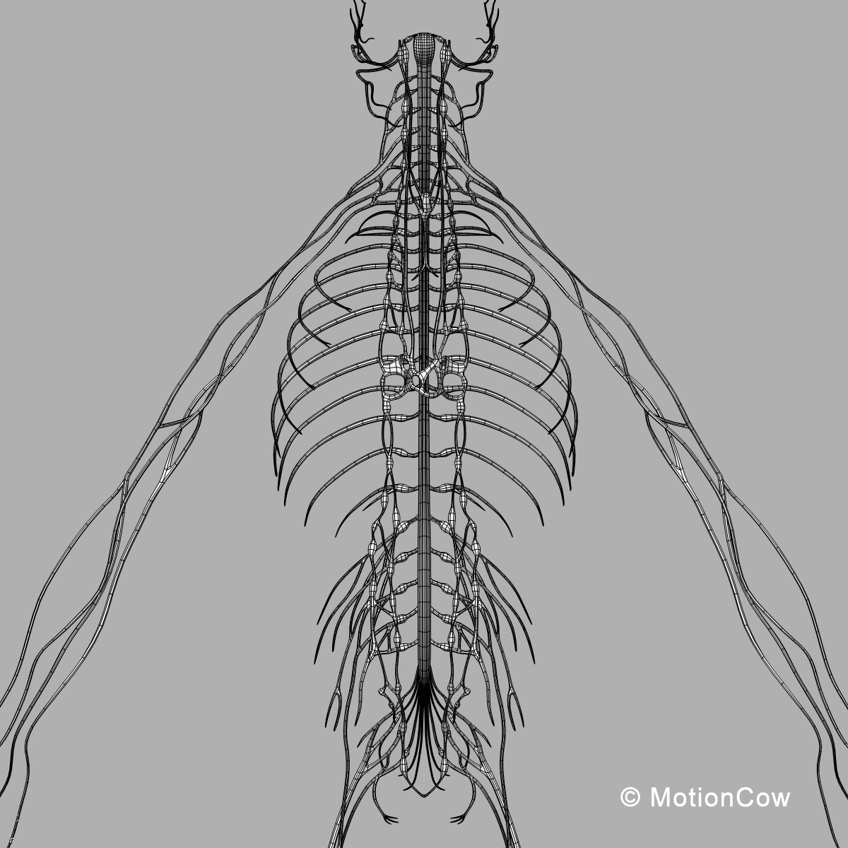 Skeleton, Anatomy & Nervous System ( Rigged )